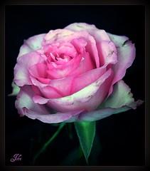 Watercolour Rose (bonksie61) Tags: rose watercolour smörgåsbord digitalcameraclub avision superbmasterpiece almostanything diamondclassphotographer excapturemacro wonderfulworldofflowers ♪♪♪kartpostalpostcard♪♪♪