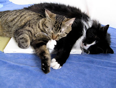 Artist's Kitties (veganmichele) Tags: blue friends sleeping rescue pet white cute animals cat kitten sleep tabby tuxedo feral efa