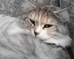 Duska (B@rbar@ (Barbara Palmisano)) Tags: pet white black eye animal cat eyes occhi gato felino siberian gatto bianco nero occhio animale siberiancat siberiano duska mywinners