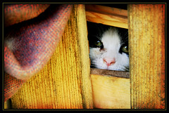 curiosity... (wunderskatz) Tags: wood cat fence gum kitten kitty hiding curiosity gummy curios wunderskatz