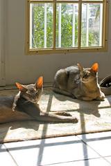 Sunbeam Seekers (key lime pie yumyum) Tags: sunshine delete10 cat delete9 delete5 delete2 delete6 delete7 pussy delete8 delete3 delete delete4 abyssinian gita sita