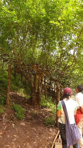1000 year old tea tree