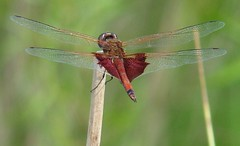 Carolina saddlebags dragonfly