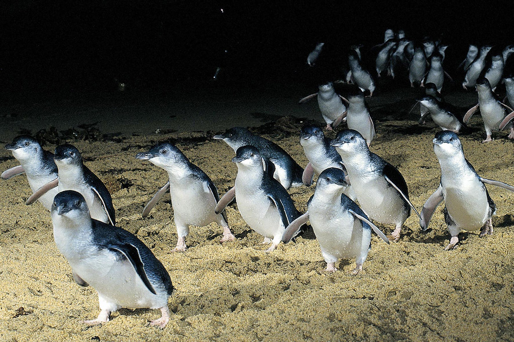 Melbourne - Philip Island Penguins