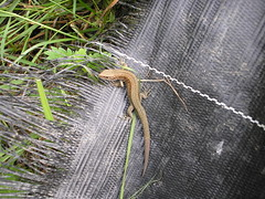 Lizard on the allotment