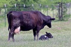 Got Milk? (beccafromportland) Tags: cow cows farm farming amish calf motherchild bovine adamscountyindiana