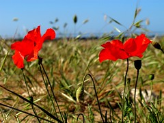 Poppies sur Mer (tezzerh) Tags: flowers france poppies vendee aiguillon