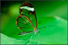 Greta oto/Glasswinged butterfly/Glasswing butterfly/espejitos ({deepapraveen very busy with work..back soon) Tags: india news love fun hope friend friendship faith dream environment deepa gretaoto inspirationalquotes glasswingedbutterfly ladyphotographer keralaphotographer deepapraveen deepaphotography deepaphotos deepapraveenphotography photoswithquote deepasbestphotos newyeargreetings2012 creativeegreetingcard2012 greetingcard2012 newyeargreetingcard2012 happyvalentinesday2012 valentinesdaygreetingscard2012 happynewyear2013 happychristmas2013 newyeargreetings2013 newyeargreetingscard2013happyxmas2013christmasgreetingcard2013