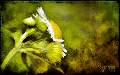 Quietly the Earth Speaks (jackaloha2) Tags: flowers flower texture photoshop canon spring textures yellows texturedlayers texturedlayer canoneosdigitalrebelxsi jackaloha2 mygearandme photoshopcs5