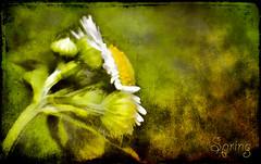 Quietly the Earth Speaks (jackaloha2) Tags: flowers flower texture photoshop canon spring textures yellows texturedlayers texturedlayer canoneosdigitalrebelxsi jackaloha2 mygearandme photoshopcs5