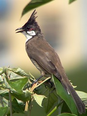 bird geotagged hongkong redwhiskeredbulbul pycnonotusjocosus specanimal animalkingdomelite kclama aplusphoto geo:lat=2238046 geo:lon=11421822 avianexcellence