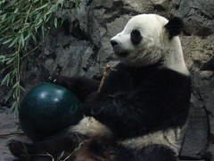 relaxed boy - 1566 (RoxandaBear) Tags: green ball rocks eating bamboo tai nationalzoo inside greenball giantpandas