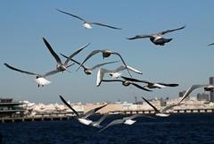 Seagulls :  (naitokz) Tags: japan seagull yokohama