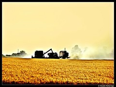 Cosechando trigo / Harvesting wheat