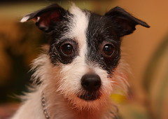 That Face (Emery_Way) Tags: dogs jack russel terrier trixie thelittledoglaughed