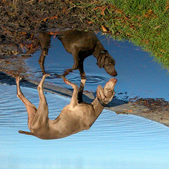 earth (saikiishiki) Tags: park winter dog chien lake playing reflection love square geotagged puddle grey reflecting interestingness orlando upsidedown florida ghost gray hound hond x perro explore hund weimaraner ripples dogpark fleet seen reflexions geotag  baldwin baldwinpark  perra inu omoshiroi weim greyghost mukha peeples  squidoo vorstehhund 20f weimie anawesomeshot fleetpeeples plor fleetpeeplesdogpark  waimarana saikiishiki