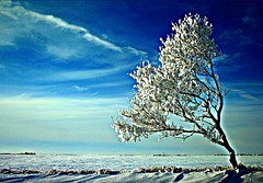 Another one of the lone bent tree (Across & Down) Tags: winter snow tree hoarfrost manitoba prairie picnik