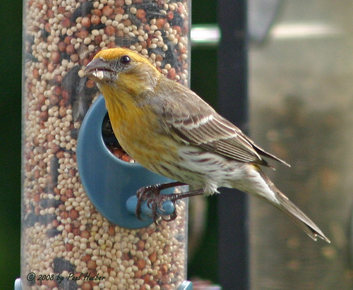 Finches In Florida. House Finch - yellow variant