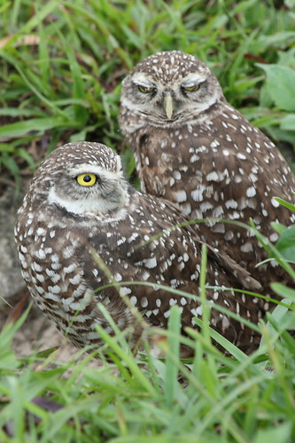 burrowing owls 1-26-08 025