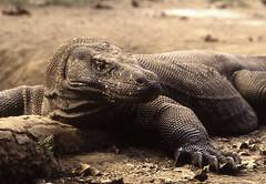 Dragon well-fed (Rob de Hero) Tags: analog indonesia dragon reptile dragons slide dia lizard analogue lizards indonesien reptiles echse drache reptil waran reptilien echsen warane varanuskomodoensis kommodo kommododragon kommodowaran