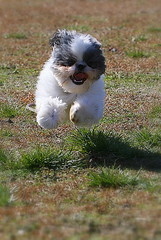 Happiness Is... (Rachel Pennington) Tags: puppy lucy rachel shihtzu happiness running 10monthsold pennington