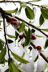 IceStorm-01077 (blahmni) Tags: plant cold tree ice virginia berries icestorm icicles brrr woodbridge lightroom blahmni sal18250