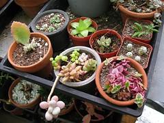 Succulent Propagations (joeysplanting) Tags: pots cuttings succulents propagation