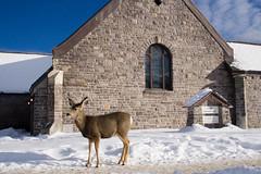 Banff Wildlife (Banff Lake Louise) Tags: winter wild vacation mountain holiday canada ski nature animals town sheep resort deer alberta banff bighorn wilderness lakelouise banfflakelouise radarddb canadakeepexploring