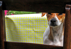 Nosey Dog (edowds) Tags: dog chair jess nosey jackrussel flickrchallengegroup simplysuperb