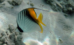 "Sand eating?? (*Chris"")) Tags: fish nature coral underwater redsea egypt diving reef threadfinbutterflyfish makadi"