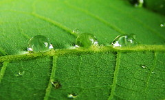three's a crowd (Lgringoloco) Tags: macro green water rain three leaf drops sony sharp company dew crop dsc h7