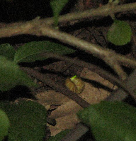 glow worm in the bushes grainy close up 190308 nanda rd park
