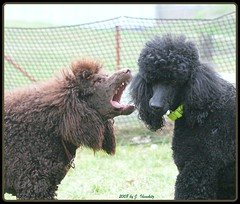 speak with me (darleen2902) Tags: brown black poodles misura darleen standardpoodles