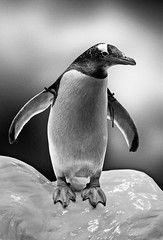 Penguin (Villi.Ingi) Tags: bw cold cute bird ice animal canon zoo penguin sweet adorable tenerife getty cuteness gettyimages 40d 40deurope