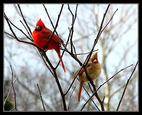 Mom and Pop Cardinals