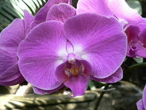 Lavendar Orchid