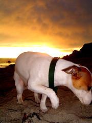 Shy (heykeriann) Tags: california sunset dog beach malibu jackrussel elmatador