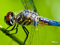 Dragonfly (HVargas) Tags: park flowers blue fab flower macro bird birds closeup canon bug lens landscape rebel flying petals newjersey searchthebest dragonfly wildlife seagull fabulous picturesque gaviota soe waterbirds glenrock smrgsbord efs60mm naturesfinest xti saddlerivercountypark golddragon 40d abigfave canoneosdigitalrebelxti ef180mm ef60mm platinumphoto anawesomeshot ultimateshot superbmasterpiece diamondclassphotographer megashot canoneos40d excellentphotographerawards theunforgettablepictures canon40d amazinshots overtheexcellence goldsealofquality betterthangood theperfectphotographer goldstaraward dragongoldaward ef28300mm hvargas unlimitedphotos natureselegantshots checkoutmynewpics oneearthonehomenaturephotos canonef28300mm13556lisusm canonmacroef180mm