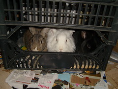 S7300042 (delilah84) Tags: bunnies animals guinea pig cavy rabbits animaux rodents fritz animali aku suria ronja conigli porcellino lapins cavia lagomorphs rongeurs roditori peruviano lagomorfi