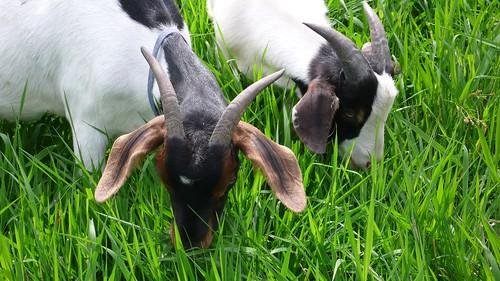 羊咩咩吃草