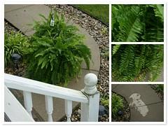 Initiative (picsbyrita) Tags: green rain fdsflickrtoys ferns mothernature moisture initiative mothersdaygift m24 mission24 conservingwater
