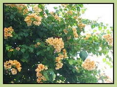 Bougainvillea 'Golden Glow' with orange-yellow (amber) bracts, in our neighbourhood