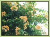 Bougainvillea 'Golden Glow', with orange-yellow (amber) bracts