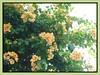 Bougainvillea 'Golden Glow', with orange-yellow (amber) bracts
