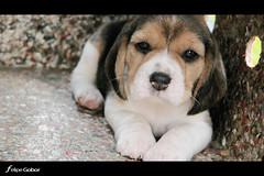 Puppy (Felipe Gobor) Tags: dog pet beagle animal canon puppy cachorro filhote 30d canonefs1785mmf456isusm