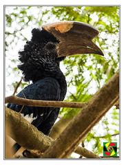 Black and White Casqued Hornbill - Ceratogymna subcylindricus (Crested Aperture Photography) Tags: hornbill uganda ggaba lakevictoria ug greatnature crestedaperture bird birds birdsofuganda jacarandatree ceratogymnasubcylindricus