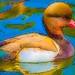 Duckoration
