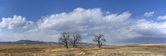 the mighty plains cottonwoods (eDDie_TK) Tags: colorado co larimercountyco larimercounty lovelandco loveland ftcollinsco ftcollins plainscottonwood cottonwood trees clouds sky
