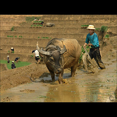 Man, Buffalo and Earth are one (NaPix -- (Time out)) Tags: portrait food man black green landscape hope buffalo asia southeastasia rice paddy farmers action farming working vietnam explore farmer journalism sapa hmong paddies explored explore5 ricefarming exploretopten napix