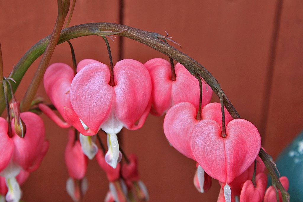 More Pretty Pink Bleeding Hearts 003